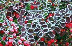 Grmovnice, ki cvetijo tudi pozimi