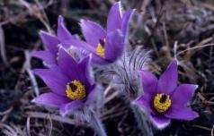 Velikonočnica na Ponikvi že cveti