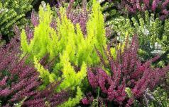 Resa in vresa sta različni rastlini