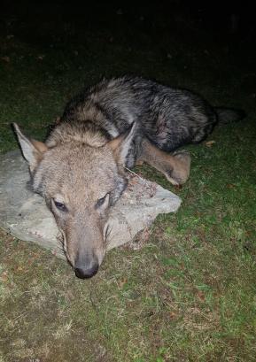 Prvi volk, ki je bil z odločbo odstreljen v Gorenjih Novakih 2. septembra 2019. Foto Marko Gasser