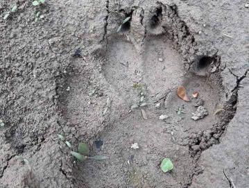 Volkovi se v zadnjem času pojavljajo tudi na območju naše občine. Večjo škodo so povzročili ovčerejcu v Lučinah, napadli so tudi teleta v Leskovici. Foto: Tomaž Luznar