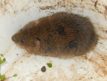 Mišjo mrzlico prenašajo glodavci, predvsem miši, podgane in voluharji (na fotografiji). FOTO JURE FERLAN