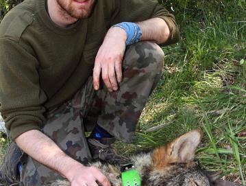Dr. Miha Krofel med terenskimi raziskavami ob uspavanem volku Foto: Arhiv dr. Miha Krofla