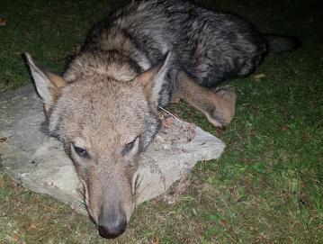 Prvi volk, ki je bil z odločbo odstreljen v Gorenjih Novakih 2. septembra letos. Foto Marko Gasser