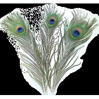 Pavova peresa, 20 - 30 cm, 5 kosov
