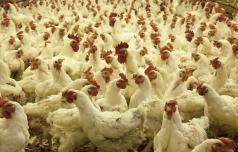 Piščančja farma še razdvaja Konjičane