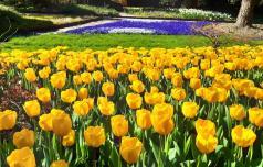 Tulipani v Mozirskem gaju letos brez občudovalcev