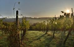 Vinogradniki: kam letos z grozdjem?