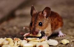 Nevarnost za mišjo mrzlico tudi v naših krajih