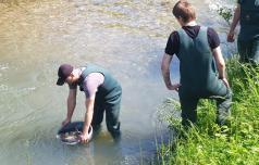V reko Dravinjo se vrača življenje