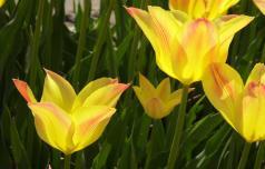 V Mozirski gaj vabi 200.000 tulipanov