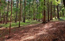 Najvišje drevo v Sloveniji je na Ribniškem Pohorju