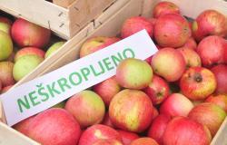 Rekordna letina kozjanskih jabolk