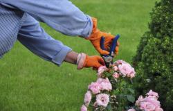 Kako pravilno obrezovati vrtnice?