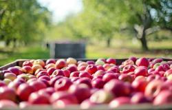 Letina jabolk bo precej slabša od povprečne