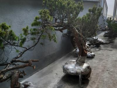 Izkopani borovci so zaščitene rastline. (Foto: PU Celje)
