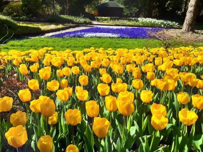 Tulipane v Mozirskem gaju lahko letos občudujemo le virtualno. (Foto: FB Mozirski gaj)