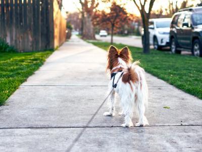 Pes mora biti v urbanem okolju na povodcu, pravijo policisti in vodnik v šoli za pse. (Foto: Pixabay)