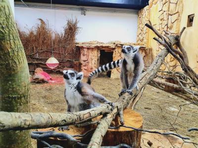 Zlasti najmlajši obiskovalci so najbolj navdušeni nad simpatičnima lemurjema z Madagaskarja. (Foto: Tropska hiša)