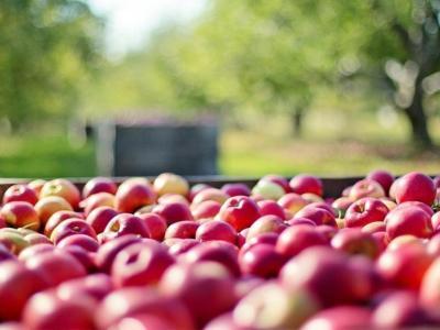 Kateri pridelovalci jabolk so upravičeni do pomoči, smo preverili pri kmetijskem ministrstvu. (Foto: Pixabay)