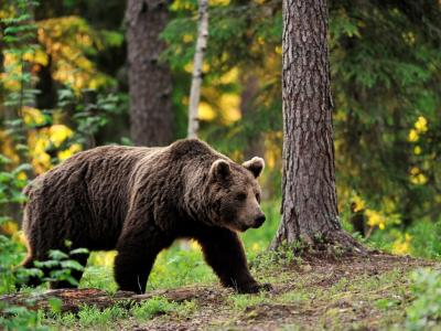 Občanka je v gozdu v Gorici pri Slivnici to nedeljsko jutro opazila medveda. (Fotografija je simbolična.)
